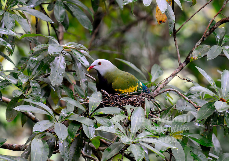 The Wompoo Fruit Dove (Ptilinopus magnificus), sitting on her nest  - also known as the Wompoo Pigeon, is one of the larger Fruit Doves native to New Guinea and Australia.
