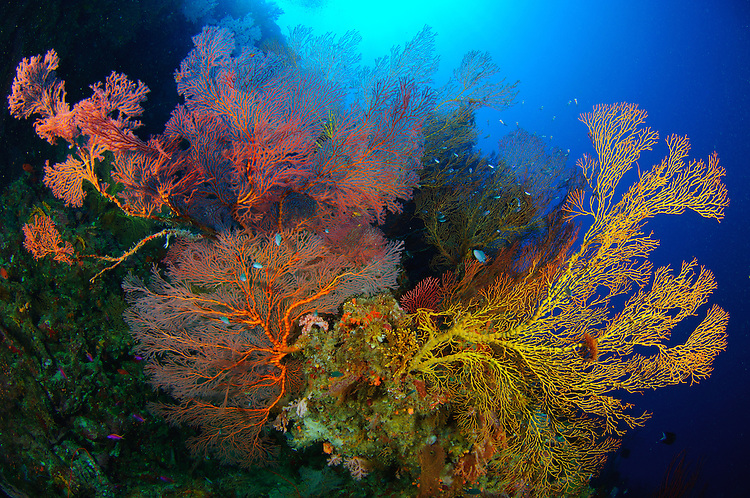 Colourful assorted sea fans and soft coral, Marovo lagoon, Solomon Islands