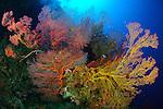 Colourful assorted sea fans and soft coral, Marovo lagoon, Solomon Islands