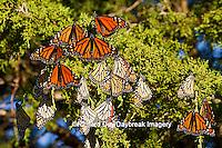 03536-05215 Monarch butterflies (Danaus plexippus) roosting in Eastern Red Cedar tree (Juniperus virginiana),  Prairie Ridge State Natural Area, Marion Co., IL