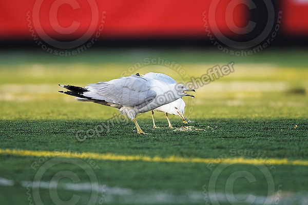 June 23, 2009; Hamilton, ON, CAN; CFL football: Gulls eat vomit on the field at Ivor Wynne Stadium during the game between theToronto Argonauts and Hamilton Tiger-Cats. The Argos defeated the Tiger-Cats 27-17. Mandatory Credit: Ron Scheffler. Copyright (c) 2009 Ron Scheffler.
