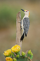 597900032 a wild  male golden-fronted woodpecker melenerpes aurifrons perches on a dead stump on dos venadas ranch in the rio grande valley of south texas