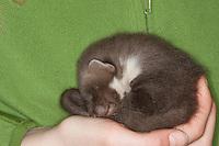 Baummarder, verwaistes Jungtier wird in menschlicher Obhut großgezogen, schläft wohl behütet in den Händen des Tierpflegers, Wildtierhilfe, Baum-Marder, Edelmarder, Edel-Marder, Marder, Martes martes, European pine marten