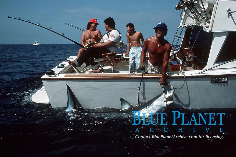 sport fisherman gaffs a mako shark Isurus oxyrinchus Big Island of Hawaii, USA, Pacific Ocean