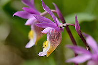 Calypso Orchid or Fairyslipper (Calypso bulbosa) wildflower.  Northern U.S. Rocky Mountains.  June.