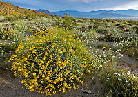 Anza-Borrego Desert State Park, CA: Mornign light on flowering Brittlebush (Encelia farinosa), brown-eyed primrose (Camissonia claviformis) and desert chicory (Rafinesquia neomexicana) in Glorieta Canyon