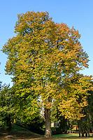 France, Loire-et-Cher (41), Chambord, château de Chambord, tilleul en automne