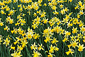 Daffodil (Narcissus 'Wisley'), mid March.