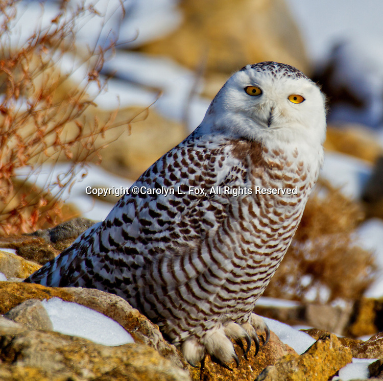 A snowy owl sits on the rocks at Smithville Lake near Kansas City, Missouri.