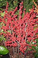 Ilex verticillata 'Berry Heavy' winterberry holly berries berry fruit, red berries for winter