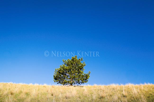 A lone tree on the sky line on Mount Sentinel in Missoula, Montana