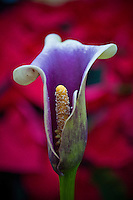 Calla lily with a background of red poinsettias for sale at a garden center for Christ decorations.