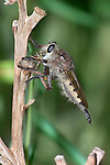 A Robber Fly, Efferia, Having A Green Bee For Lunch