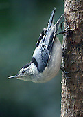 White-breasted Nuthatch upside down on a tree in typical nuthatch posture.