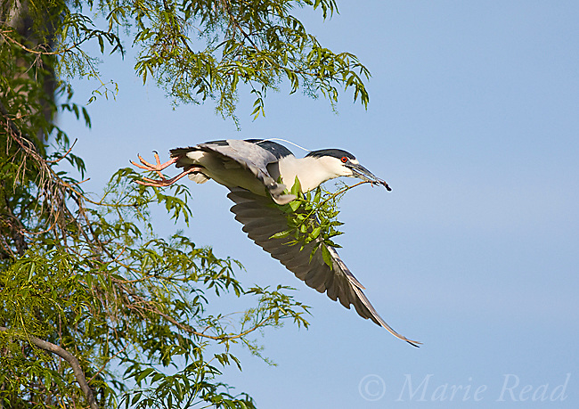 Black-crowned Night-Heron (Nycticorax nycticorax), carrying nest material in flight, California, USA
