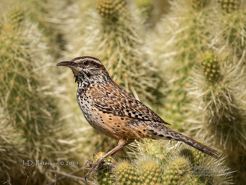 Cactus Wren on Teddy Bear Cholla, Lake Pleasant, Arizona
