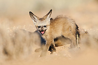 Side view of Bat-eared fox pup standing at burrow