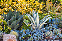 Golden Euonymous shrub at top left with succulents l-r:  green Aeoniums, Agave 'Blue Glow', golden barrel cactus, two Blue Chalksticks: taller Senecio mandraliscae, shorter Senecio serpens, Agave americana 'Mediopicta Alba', Agave 'Cream Spike', and Aloe thraskii (right rear).Debra Lee Baldwin garden