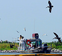 Bird rescuers capture an oil soaked pelican into a net on Queen Bess Island off of Grand Isle, La., Saturday, June 5, 2010.<br /> <br /> (AFP Photo/Cheryl Gerber)