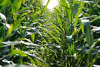 Forage maize crop growing, Longtown, Cumbria.