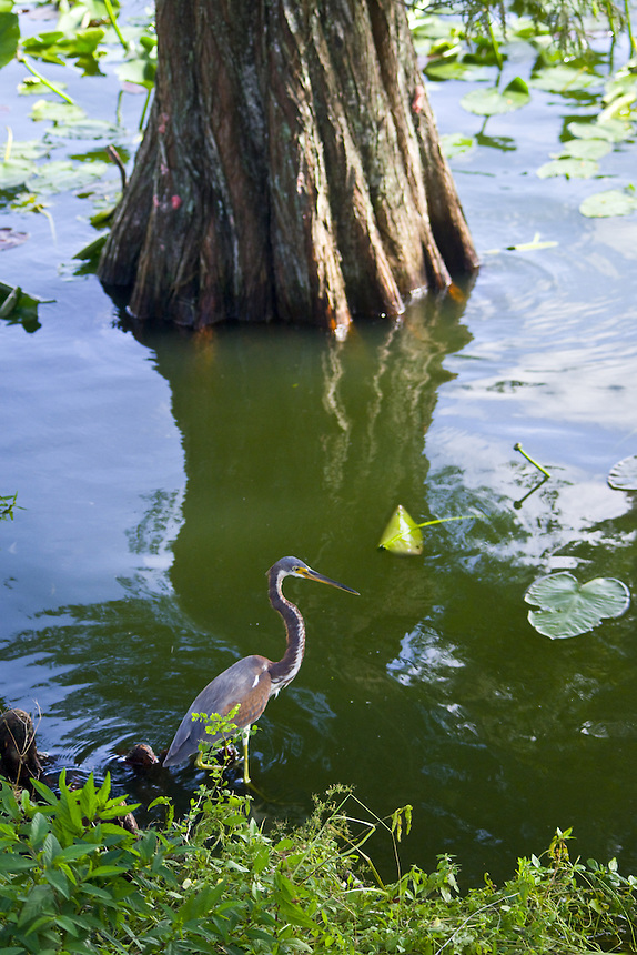 Tri-colored heron, Morton Lake, Lakeland, Florida