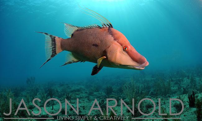 hogfish, hog snapper