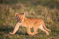 Lion cub running in the evening light in the Masai Mara Reserve, Kenya, Africa (photo by Wildlife Photographer Matt Considine)