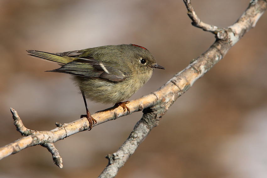 Breeding pairs of Ruby-Crowned Kinglets stay together for two months, until their chicks fledge. Ruby-Crowned Kinglets use their long, bubbly, and amazingly loud songs to establish territories; this is more energy efficient than chasing and less dangerous than fighting. They can be recognized by a constant flicking of their wings.