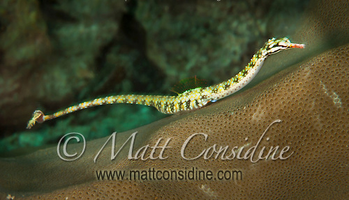 This is a Pipefish (probably a Bellybarred) a close relative of the seahorse family, Yap Micronesia (Photo by Matt Considine - Images of Asia Collection) (Matt Considine)