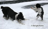 SH25-650z English Springer Spaniels puppy and adult playing