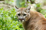 Mountain Lion - Puma concolor - This mountain lion is in captivity at Squam Lakes Natural Science Center in Holderness, New Hampshire USA and like most animals at the science center it is injured or unable to survive in the wild.