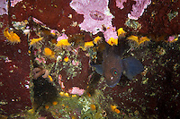Alaskan Ronquil ( Bathymastor caeruleofasciatus ) underwater in the islands of Haida Gwaii, British Columbia, Canada.