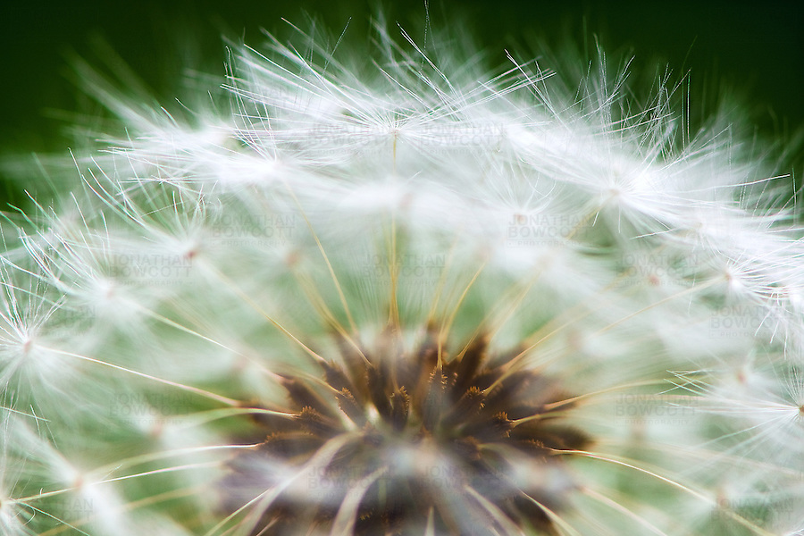 Close up (macro) image of a Dandelion