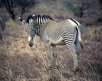 An endangered Grévy's zebra (Equus grevyi) with distinctive stripes (Kenya)