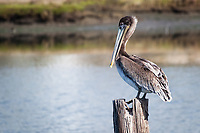 A Brown pelican finds safe haven on a piling off shore at the Martin Luther King Jr. Regional Shoreline next to the Oakland International Airport.  Urban wildlife.