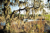 Photo of Mossy Oak in the South Carolina Lowcountry