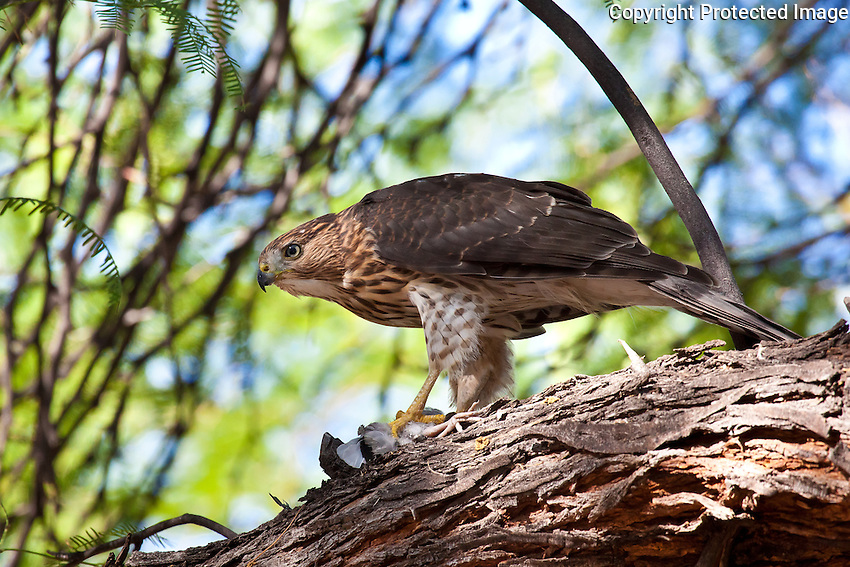 Coopers Hawk juvenile, w White-Wing Dove, Tucson, Arizona, USA