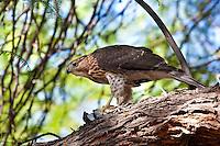 Coopers Hawk juvenile, w White-Wing Dove, Tucson, Arizona, USA
