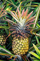 Pineapples in the Dole pineapple fields, Wahiawa, Island of Oahu