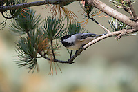 Black-capped Chickadee (Poecile atricapillus atricapullus) feeding in a pine tree in New York City's Central Park.