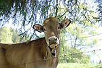 Cow portrait, Imst, Austria,