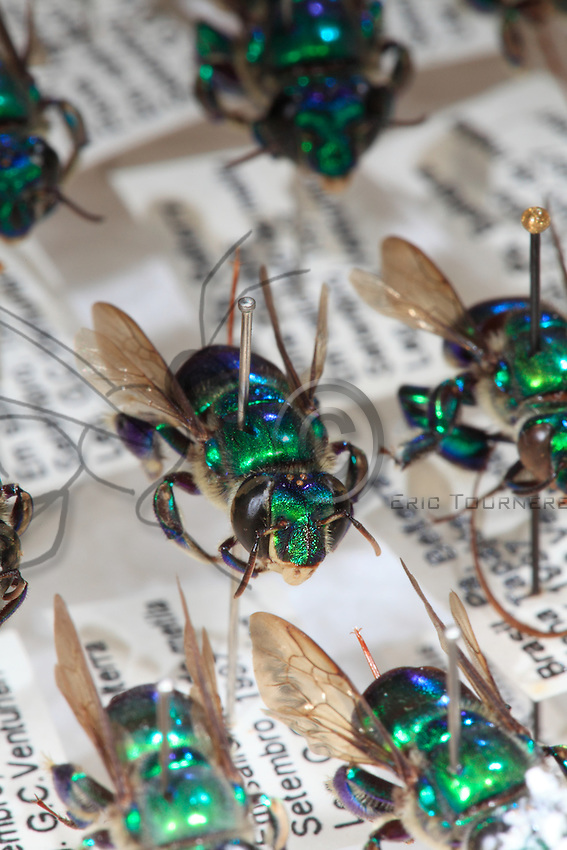 Close-up of Giorgio Venturieri collection of pollinators of Amazonia with its Euglossa chalybeata bees.
