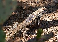 Desert Spiny Lizard, Sceloporus magister, in the Desert Botanical Garden, Phoenix, Arizona