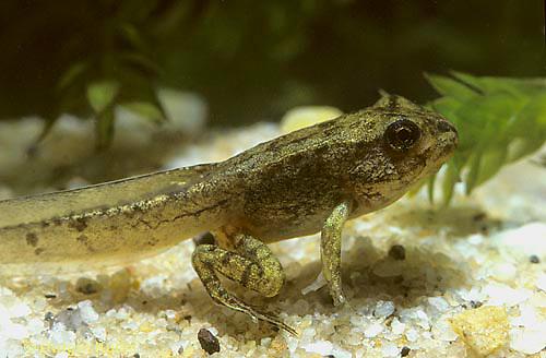 FR17-001a  Spring Peeper Tree Frog - tadpole, legs evident -  Pseudacris crucifer, formerly Hyla crucifer