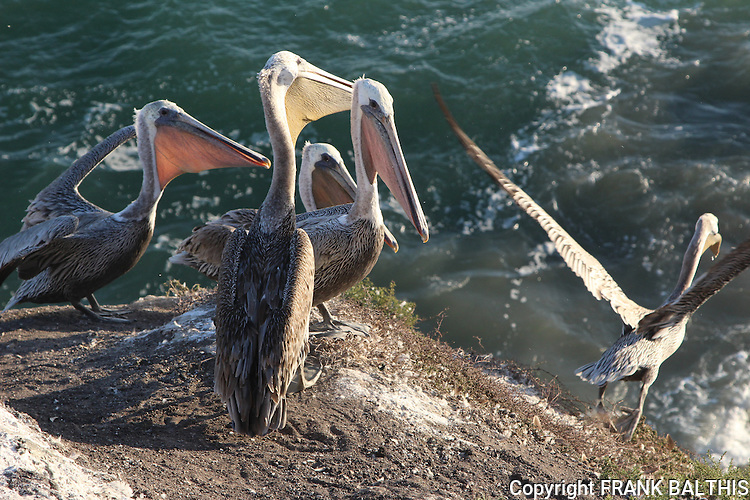 Brown pelicans in Pismo Beach
