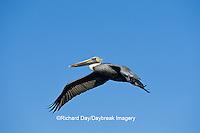 00672-00602 Brown Pelican (Pelecanus occidentalis)  in flight South Padre Island TX