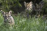 Foto: VidiPhoto<br /> <br /> RHENEN – De op 28 februari geboren jonge zeldzame nevelpanters van Ouwehands Dierenpark in Rhenen, mochten vrijdag voor het eerst naar buiten. Ondanks dat het dierenpark pas sinds 2017 fokt met deze bedreigde diersoort, hebben beide vrouwtjes inmiddels jongen. Het eerstgeboren nest mocht vrijdag eerst naar het buitenverblijf. Ouwehands doet mee aan een Europees fokprogramma met deze diersoort.  Het aantal nevelpanters is de afgelopen twintig jaar met zo'n 30 procent afgenomen als gevolg van verlies van leefgebied door ontbossing, maar vooral ook commerciële stroperij. Vacht, vlees en botten worden verhandeld en brengen flink geld op. In Nederland zijn slechts twee dierentuinen met nevelpanters, maar Ouwehands is de enige die er mee fokt.