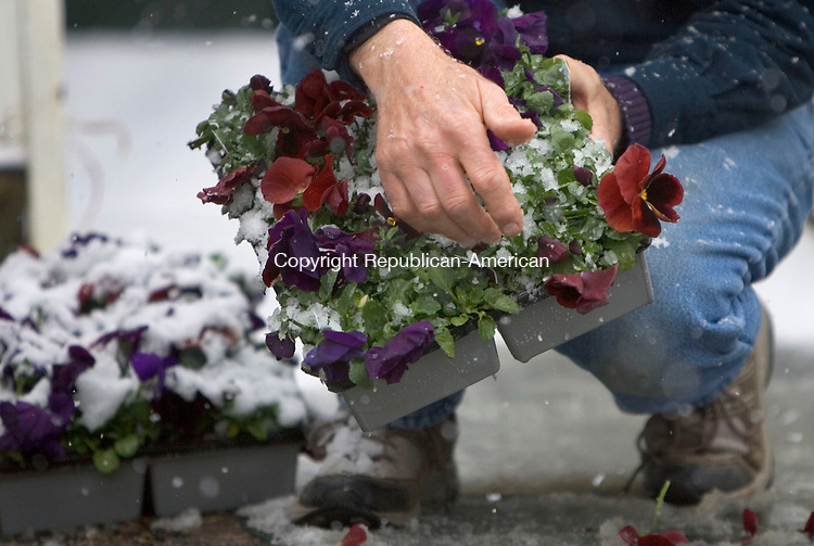 WATERTOWN, CT. 21 March 2011-032111SV07--Mark Wercnko, owner, of Mark's Gardens and Gifts cleans off snow from pansies outside his shop in Watertown Monday. Monday was the first full day of spring.<br /> Steven Valenti Republican-American