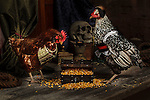 20120421 Pirate Chickens