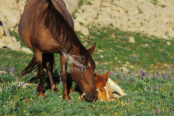 Wild Horse mare watches over her young colt.  Western U.S., summer..(Equus caballus)